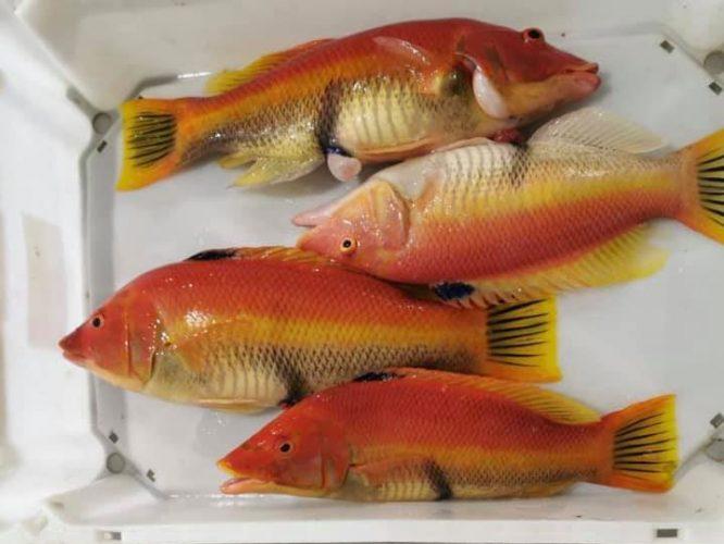 Pesca-Restinga-Cofradia-de-Pescadores-El-Hierro-Islas-Canarias-Pejeperro-01